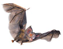 Picture of Small Hairy Flying Vampire Bat